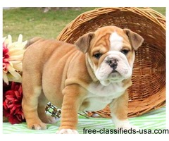 Healthy English Bulldog Puppies For Sale