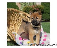 Pretty Shiba Inu Puppies For Sale