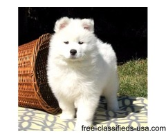 Affection Samoyed Puppies For Sale