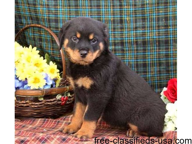 Ready To Go Rottweiler Puppies For Sale Animals Bula Texas