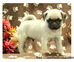 Cute Fawn Pug Puppies For Sale