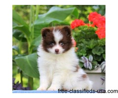 Pretty Tiny Pomeranian Puppies For Sale