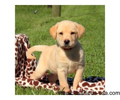 Available Labrador Retriever-Yellow Puppies For Sale