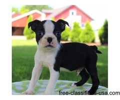 Sweet Boston Terrier Puppies For Sale