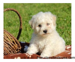 Pure Breed Bichon Frise Puppies For Sale