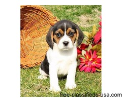Lovely Beagle Puppies For Sale