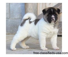Akita Puppies For Sale