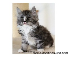 cute and adorable maine coon kittens