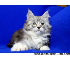 adorable maine coon kittens ready for new homes well trained