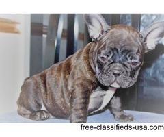 cute bulldog puppies for sale