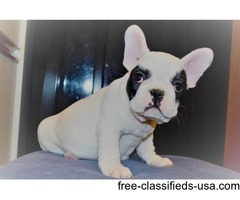 Nice and well trained French bulldog puppies
