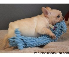 FourTop Class Pomeranian Puppies Available