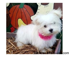 Cute Maltese Puppy is Available
