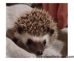 Hedgehog babies