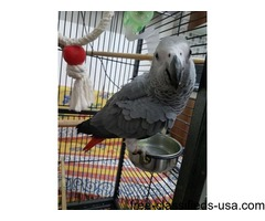 FIRST HOME REGALO AFRICAN GREY PARROT FOR SALE