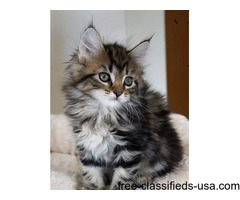 cute and adorable maine coon kittens ready