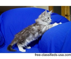 cute and adorable maine coon kittens ready for new homes