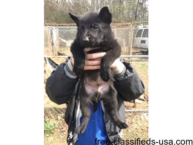 Akc German shep pups | free-classifieds-usa.com