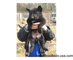 Akc German shep pups