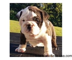 Spectacular English Bulldog Puppies 50% OFF!