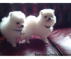 male and female Pomeranian puppies for rehoming