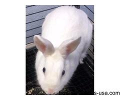 White Bunnies for Adoption