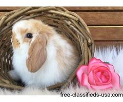 Docile Dwarf Holland Lop Pet Bunny Rabbit