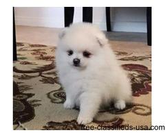 AKC White Female Pomeranian