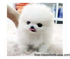 DCVFBG Awesome AKC Registered 12 weeks old Pomeranian Puppies