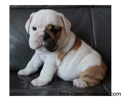 AKC ENGLISH BULLDOG TRI POINT PUP
