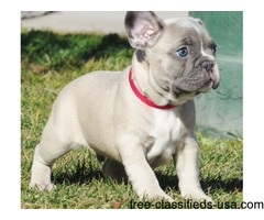 cute french bulldog for rehoming