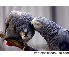 AFRICAN GREY PARROT FOR A HOME SWEET
