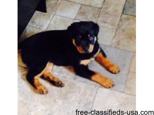 Obedient Rottweiler Puppies For Sale Animals Castle Rock