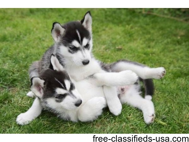Siberian husky for sale in sacramento