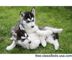 Siberian Husky Purebred Puppies for sale
