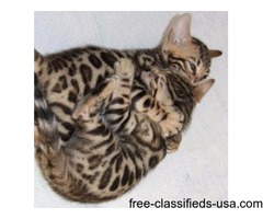 Benagl kittens