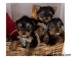 AKC registered cute teacup yorkie puppies for sale