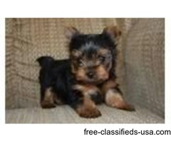 Teacup Yorkie puppies For Sale | free-classifieds-usa.com