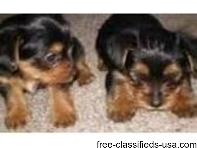 Potty Teacup Yorkies Puppies