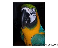 10 Year Old B&G Macaw For Sale