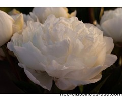 Want to Grow Peonies? Big, Fragrant Flowers