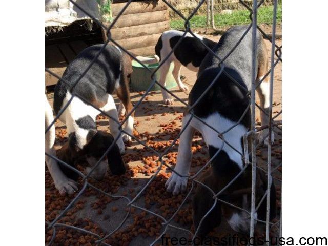 UKC Treein Walker Coonhounds