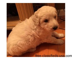 CKC Shepadoodle Puppies