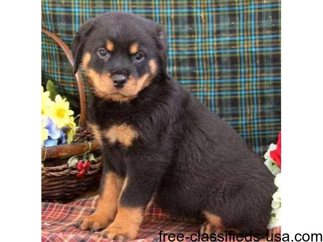 Ready To Go Rottweiler Puppies For Sale