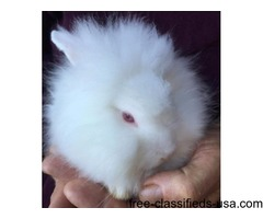 Lionhead Pedigree Rabbits
