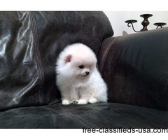 excellent Super temperaments Tea-Cup Pomeranian puppies