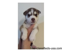 AKC registered Siberian Husky red female #2