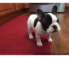 Akc French Bulldog Female Blue Carrier