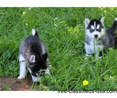 Healthy Siberian Husky Puppies..