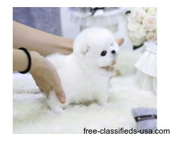 AKC Tiny Pomeranian-Yorkie And Maltese Puppies